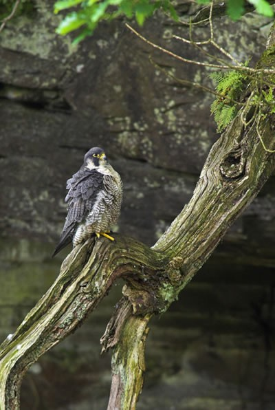 Peregrine. Photo by Ben Hall (rspb-images.com)