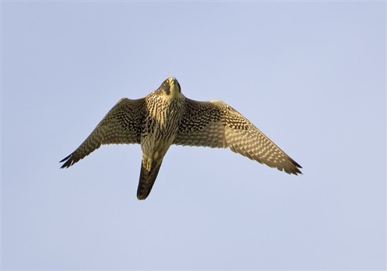 Peregrine. Photo by Graham Catley