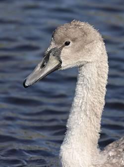 Mute swan photo by Steve Round
