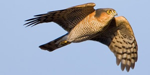 Sparrowhawk - not the cause of farmland bird declines