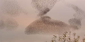 An amazing flock of starlings