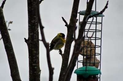 Chilly Male Siskin - photo Debby Thorne