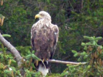 Frisa - our female white tailed eagle - photo Debby Thorne