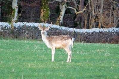 Fallow Deer - Photo Debby Thorne