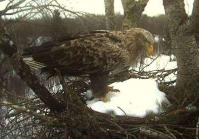 Estonian sea eagle nest