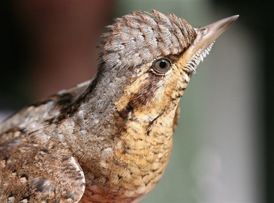 Wryneck at Paxton Pits by Mark Ward