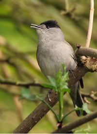 Male blackcap singing