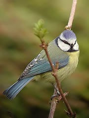 Blue tit on branch by Andy Bright (http://digiscopingukbirds.homestead.com/)
