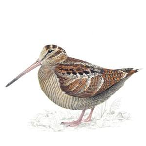 Woodcock illustration by Mike Langman (RSPB)