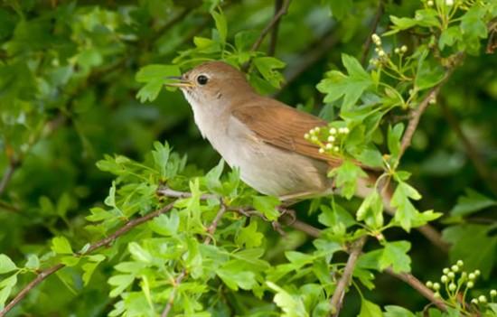 Nightingale (RSPB Images)