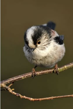 Long-tailed tit. Photo by Steve Round