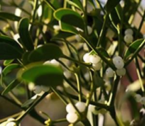 Mistletoe by Katie Fuller