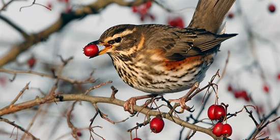 Redwing. Photo by Steve Round