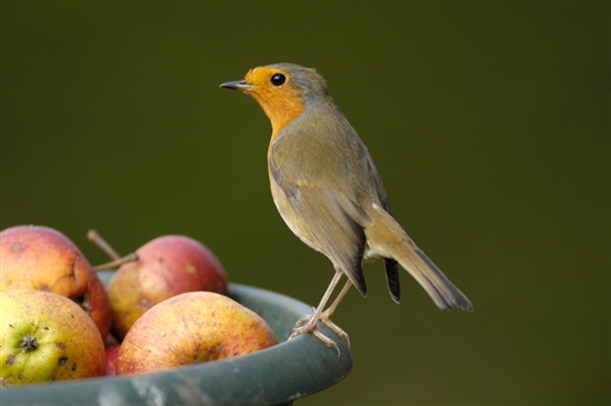 Robin. Photo by Steve Round