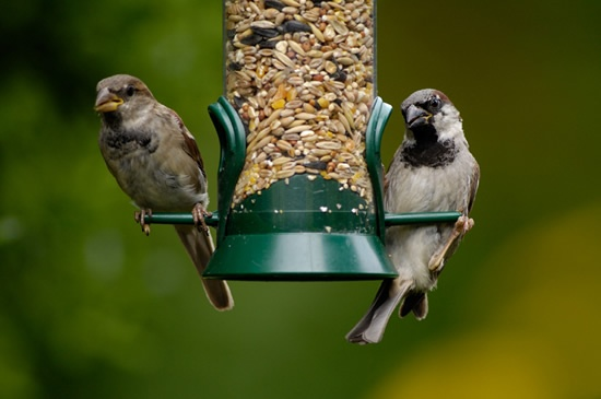 House sparrows by Ray Kennedy (rspb-images.com)