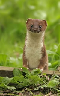 Stoat. Photo by Steve Round
