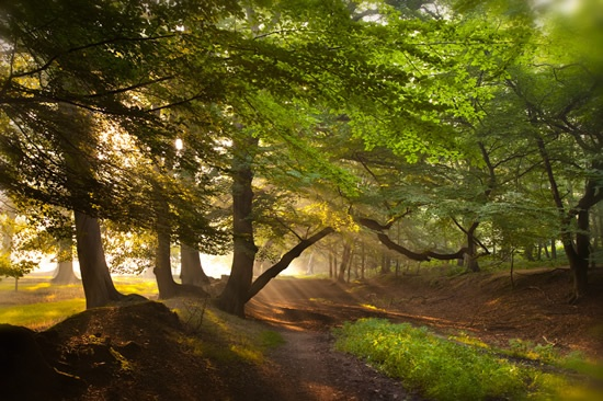 Beech trees in the morning by Ernie Janes (rspb-images.com)