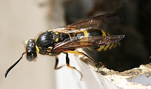 Potter wasp emerging from window frame. Photo by Lucinda King