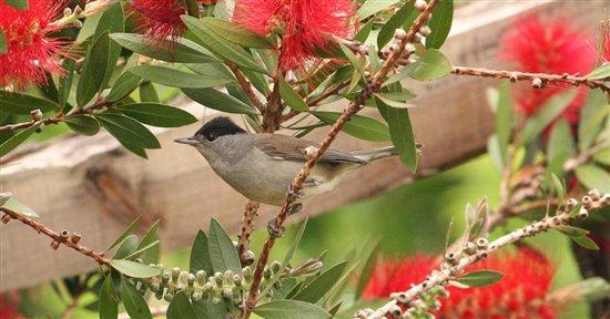 MADEIRA: Birds - All creatures     - Wildlife - The RSPB