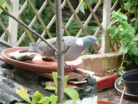 How do I deter woodpigeons from fouling the birdbath? - Feeding