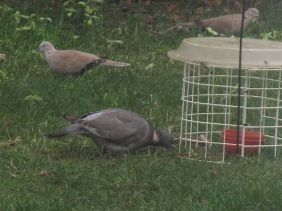 Feeders food and feeding methods the tea rooms chat for Whole coconut bird feeders