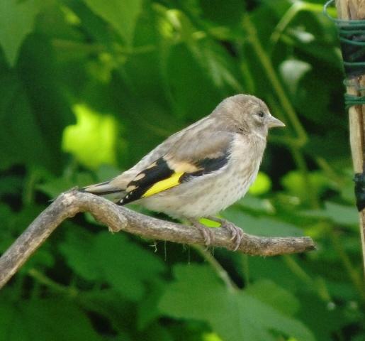 My first baby goldfinch of 2011! - Wildlife in the garden ...