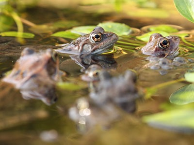 Frogs are struggling and more ponds are needed.