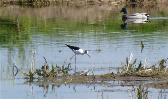 Black winged stilt on a N Kent farm (c) Carol Donaldson