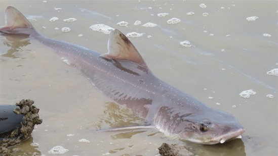 One of the smoothhound sharks in VERY shallow water at Medmerry. Image courtesy of Andrew House.