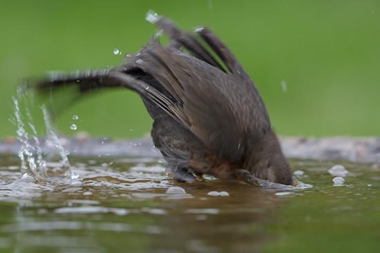 Female blackbird taking a dip in water