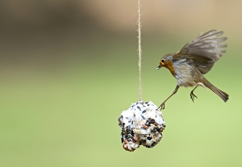Robin on homemade fat ball. Image by David Tipling (www.rspb-images.com)