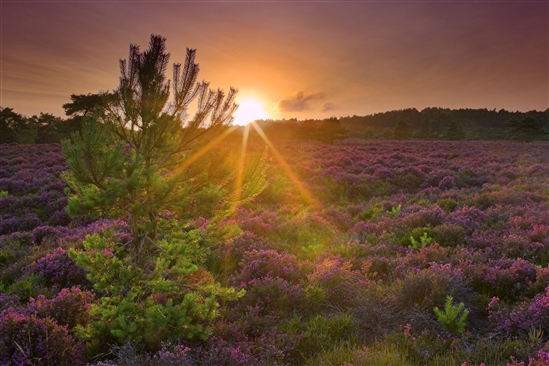 Sunrise over heathland and pine trees at RSPB Arne nature reserve. (www.rspb-images.com)