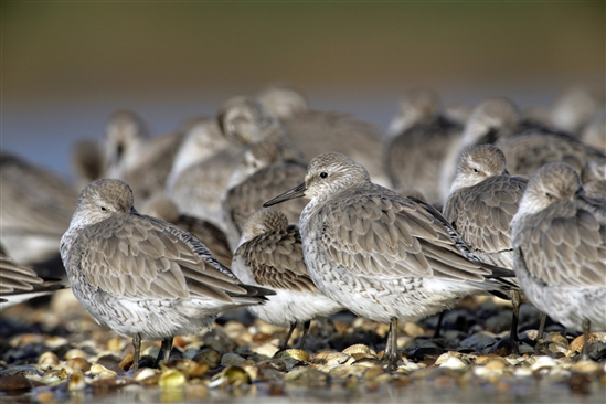 Large flock of knot (www.rspb-images.com)