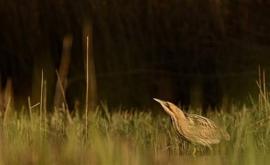 Bittern wading in reedbed. Photo by Ben Andrew (rspb-images.com)