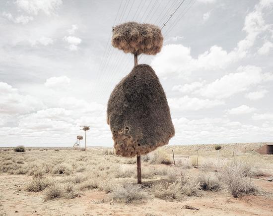 Sociable Weaver nest on telegraph pole, southern Kalahari