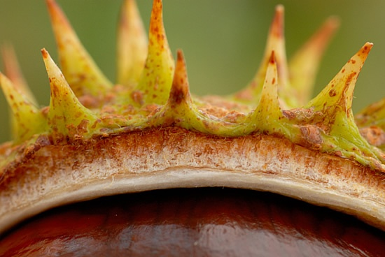 Close up of horse-chestnut seed.