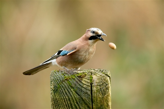 Jay. Photo by Chris O'Reilly (www.rspb-images.com)