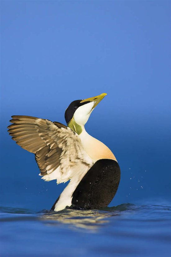 Male eider. Image by Ben Hall (www.rspb-images.com)
