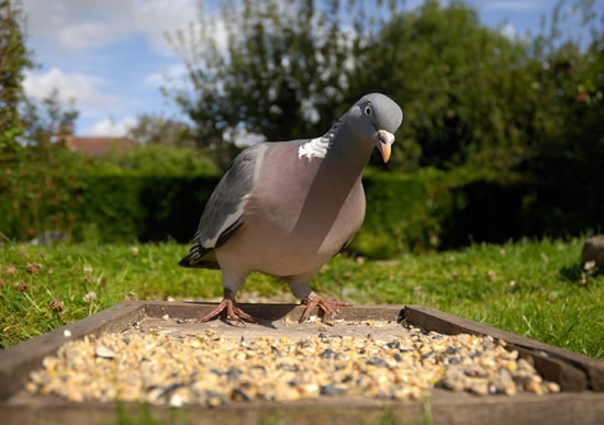 Woodpigeon perched on bird table, looking at camera.