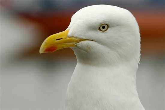 Herring gull. Image by Grahame Madge (www.rspb-images.com)