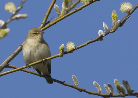 Chiffchaff singing from willow tree.