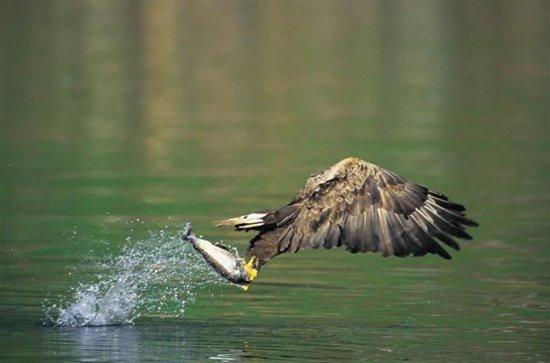 White-tailed eagle. Image by Chris Gomersall (www.rspb-images.com)
