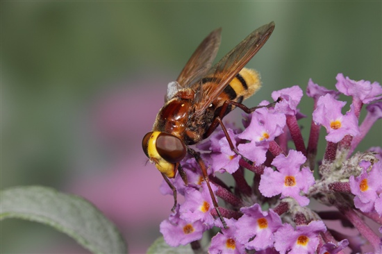 Hornet-mimicking hoverfly. Image by Richard Revels (www.rspb-images.com)