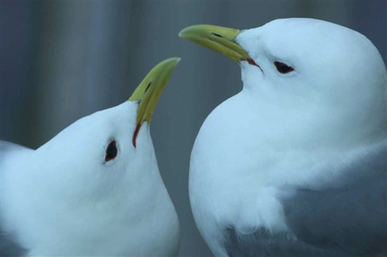 Tyne kittiwakes, Dan Turner
