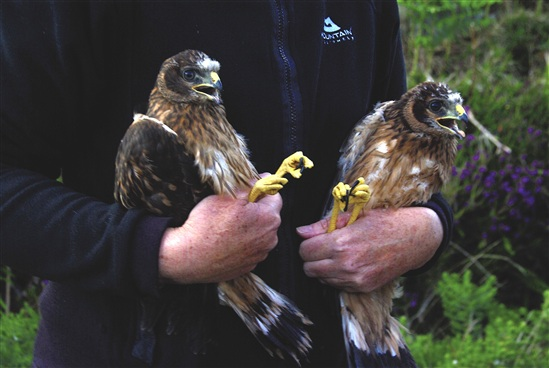 Hetty and her brother prior to ringing and tagging