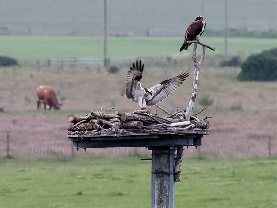 Ospreys investigate the Loch of Strathbeg nest