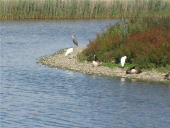 Little Egrets and Grey Heron