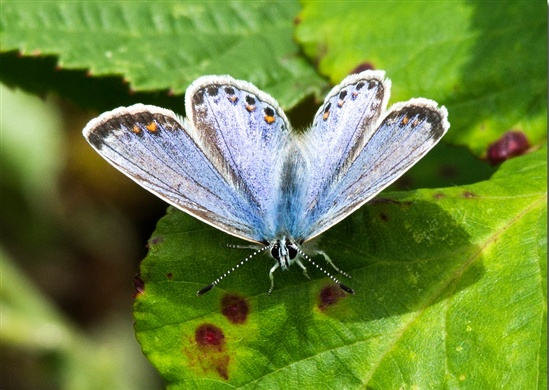 Common blue (Brian Mottershead)