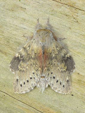 Lobster Moth (©Sue Davies)