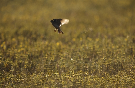 Skylark singing. Image by Chris Gomersall (rspb-images.com)